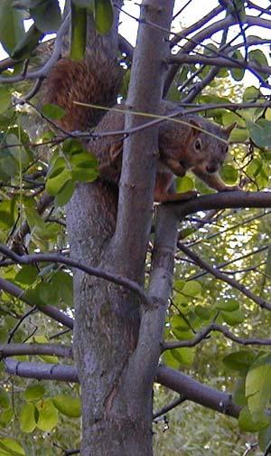 A squirrel in a walnut tree