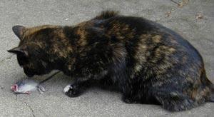 Sydney the cat eats a mouse